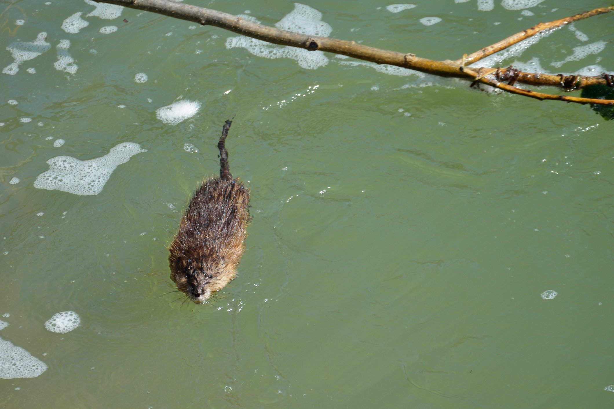 Photo: Muskrat swimming in Mammoth Spring, Arkansas - www.ozarkswalkabout.com