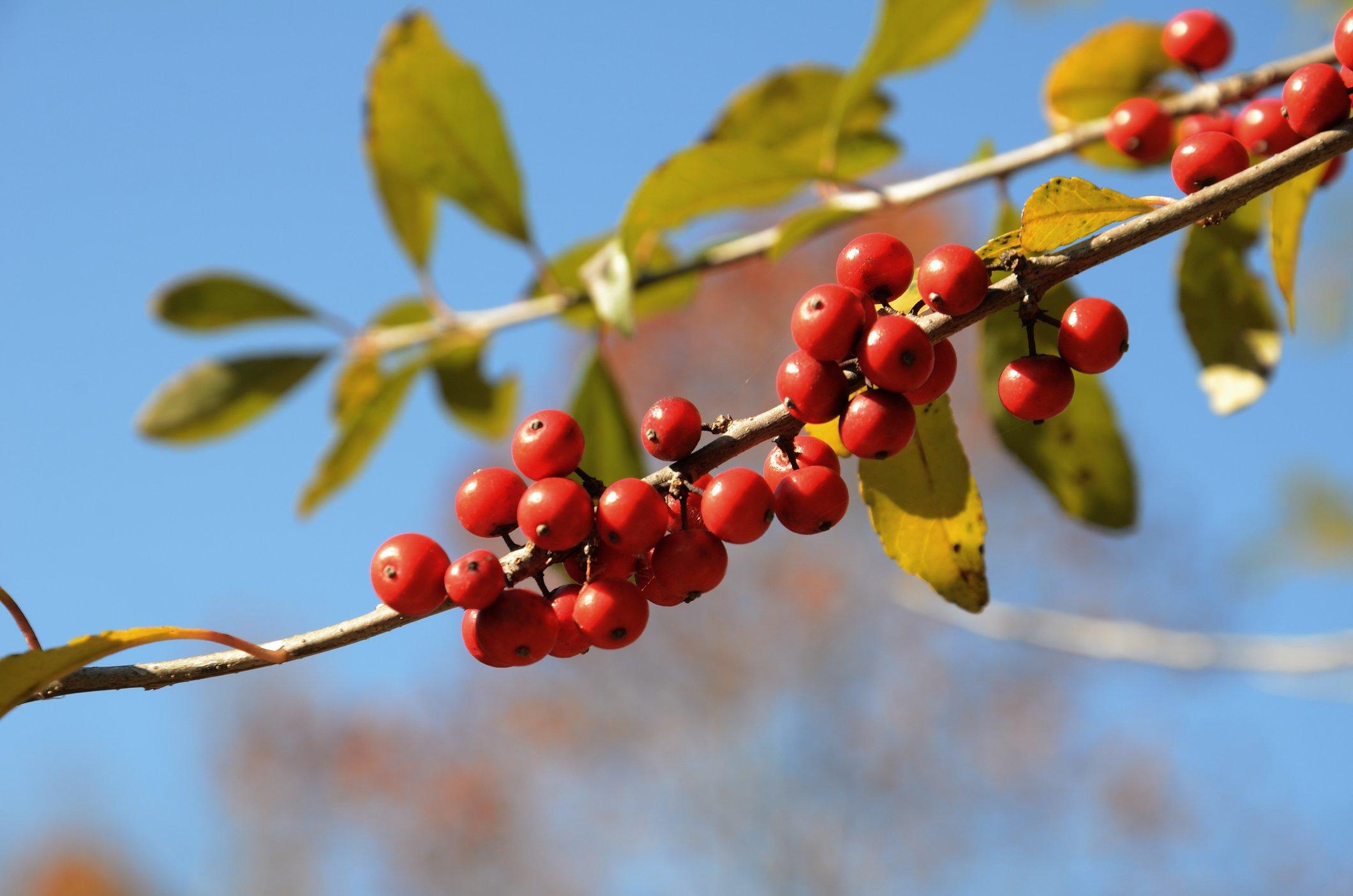Berries - www.ozarkswalkabout.com