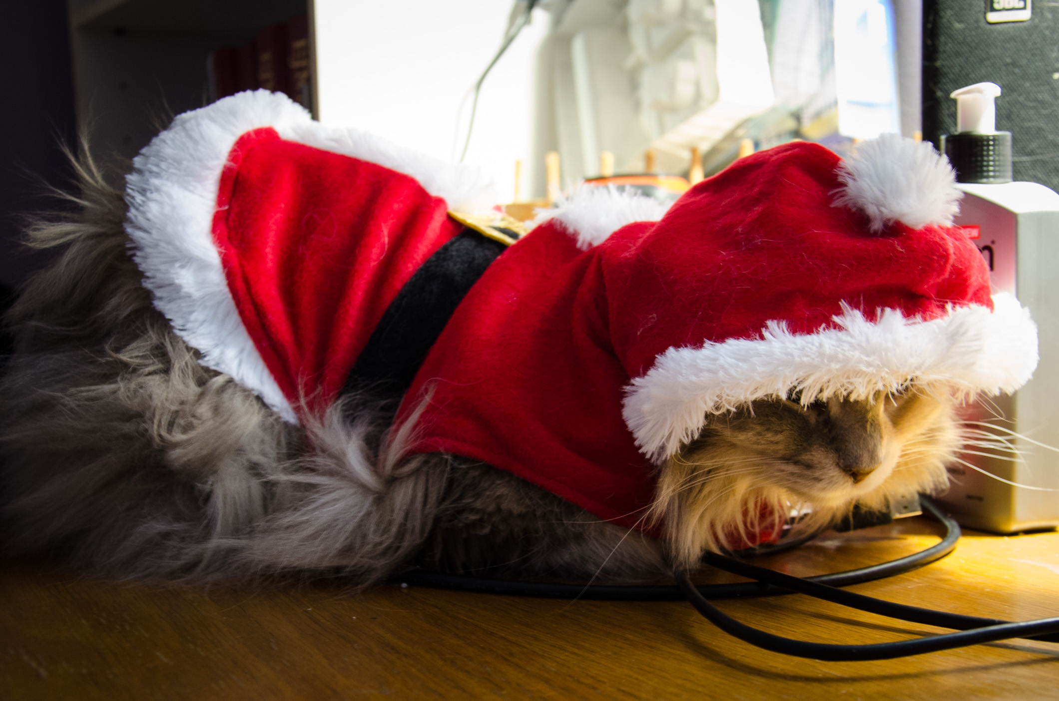 Maine Coon cat wearing a red Santa Suite