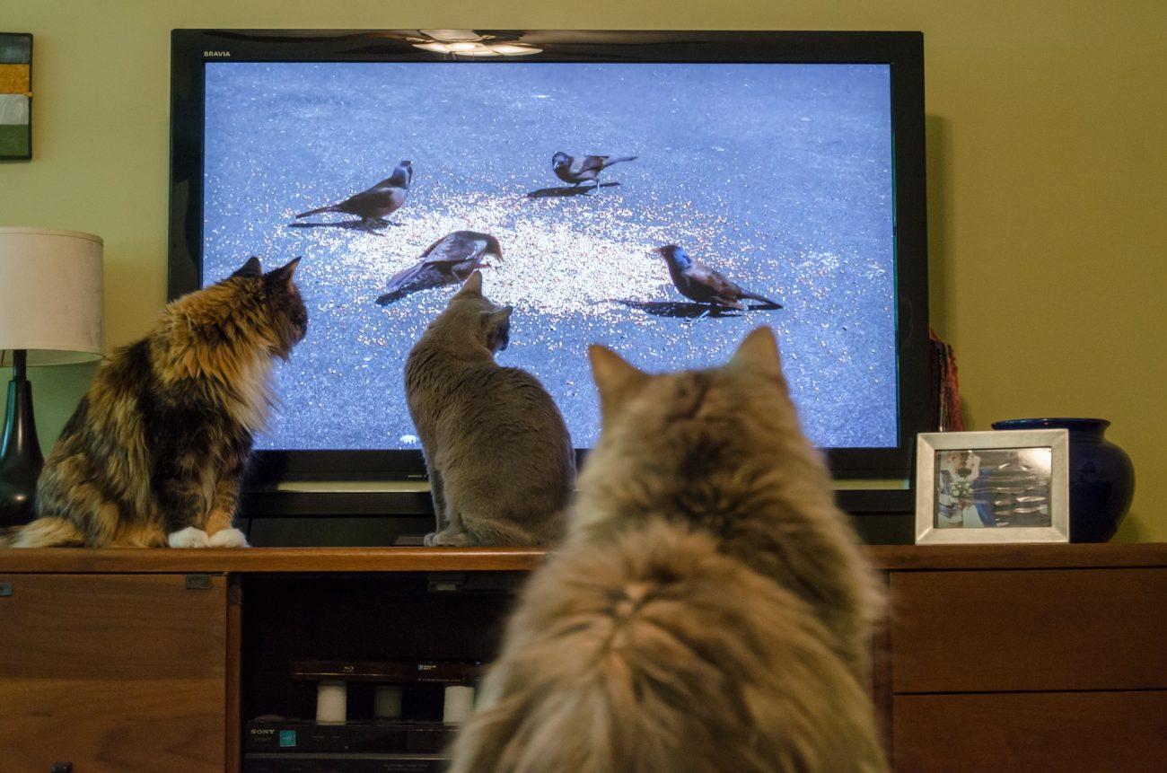 Cats Watching TV