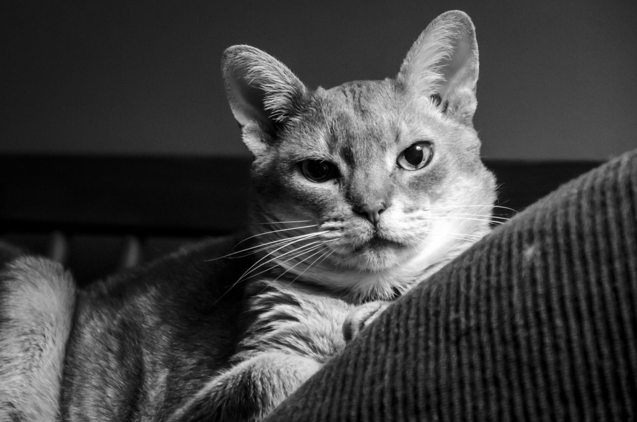 Mr. Getzger cat looking serious in a black and white picture