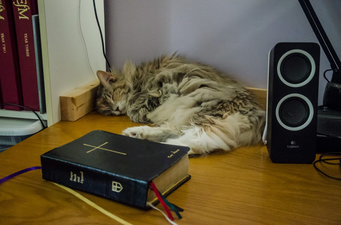 Maine Coon, Blue Kitteh sleeping on the edge of Gary Allman's office desk.