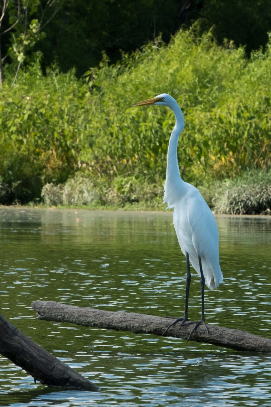 Photograph of a great egret on the James River, Springfield, Missouri.