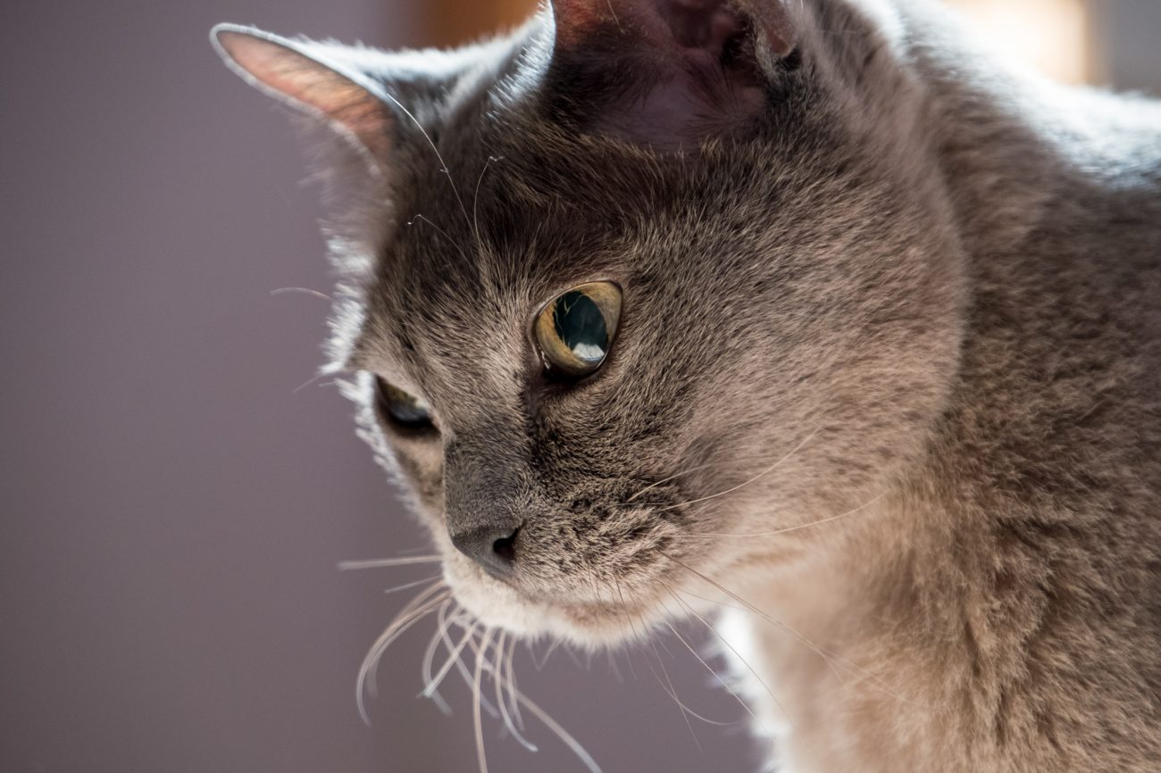 Photograph: A half-blind Burmese cat - Tubby