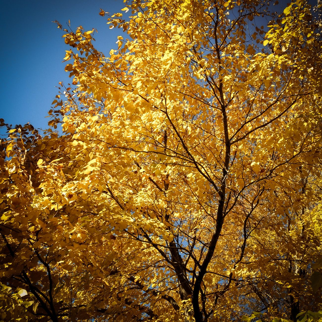Picture of a tree with bright yellow fall foliage