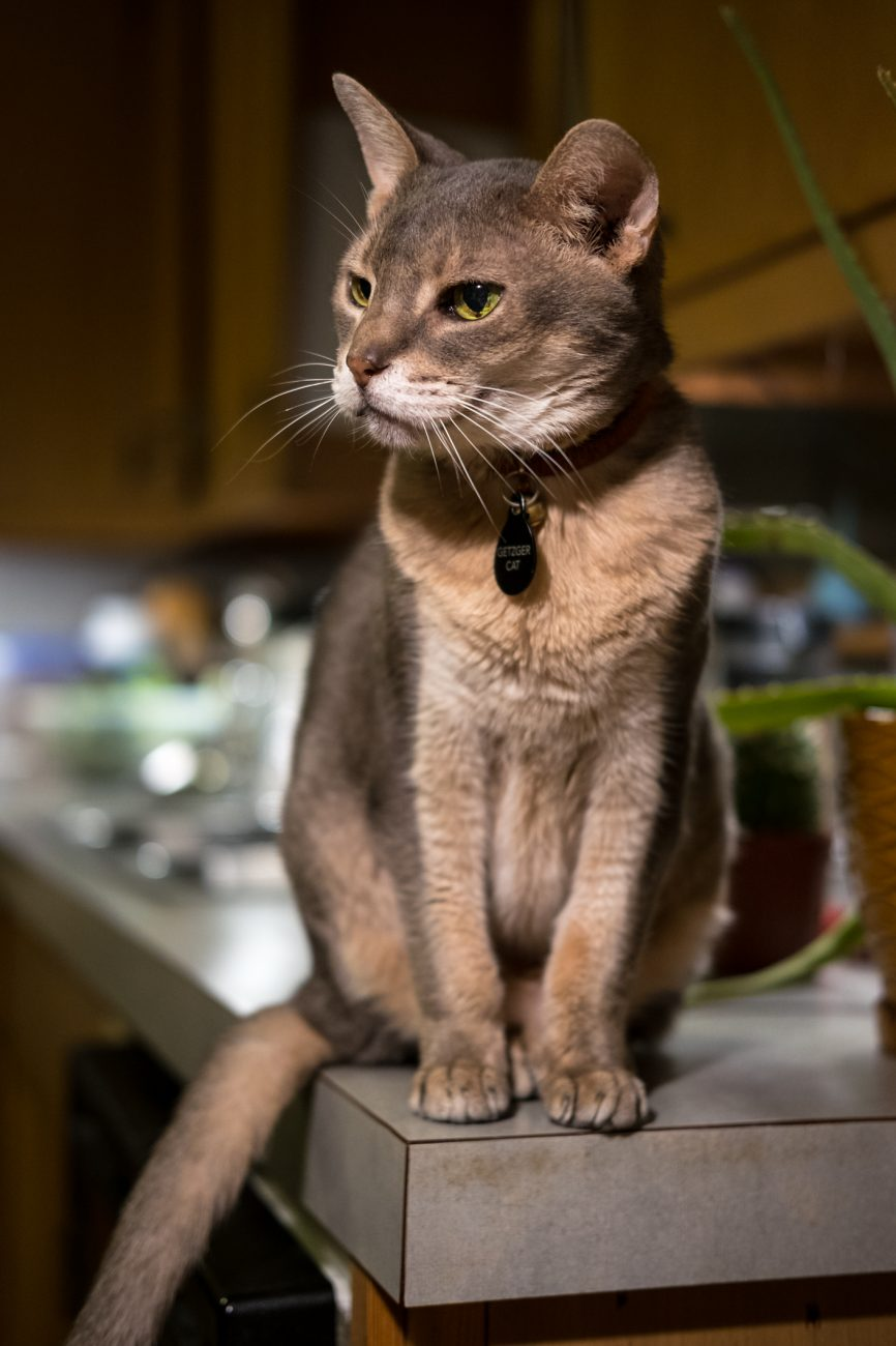 Photograph of Mr. Getzger Cat sitting on the kitchen counter.