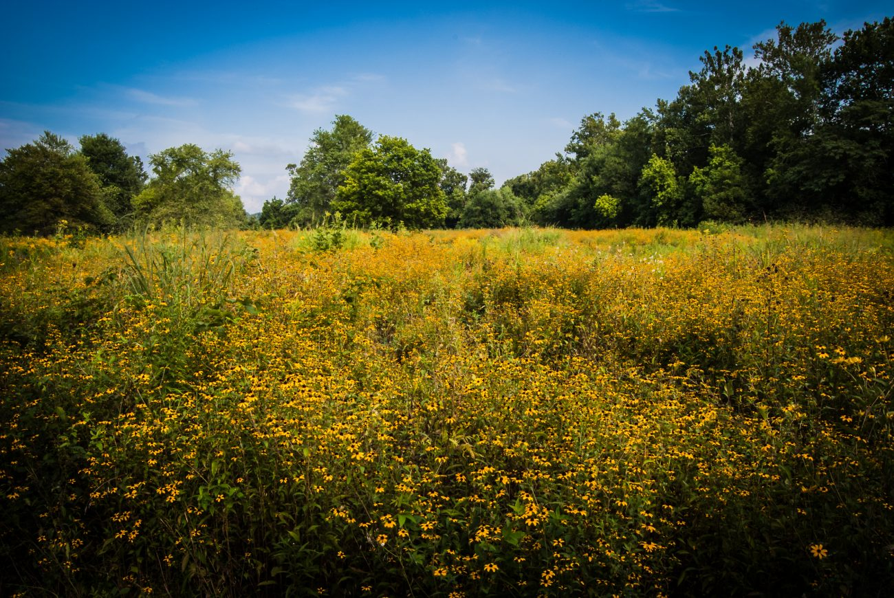 Photograph of Prairie flowers at the Springfield Conservation Nature Center