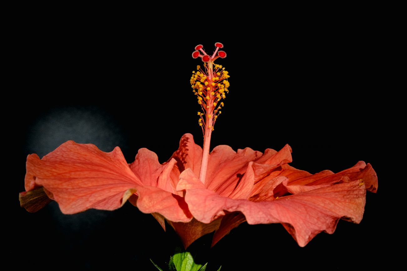 Photograph of a Hibiscus flower in color