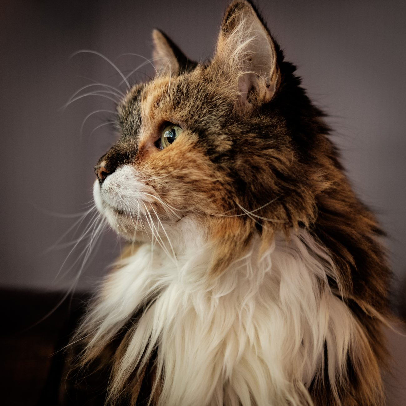 Photograph of a Maine Coon cat looking intently out of an unseen window