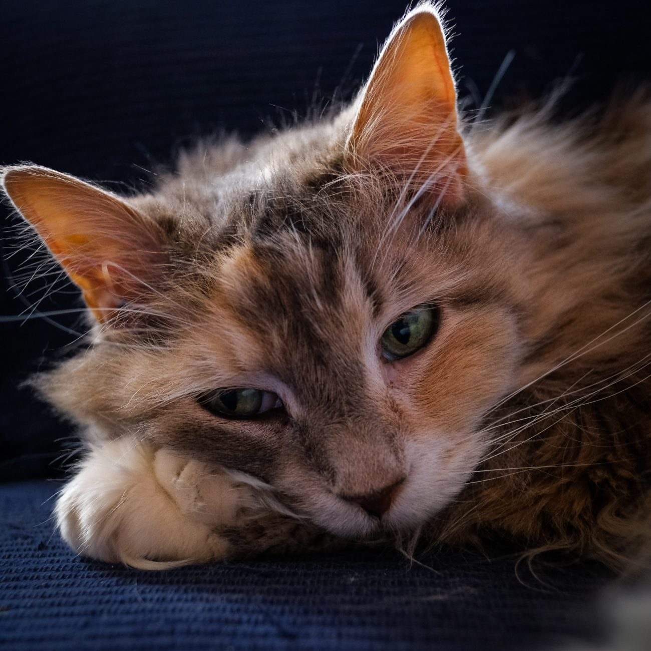 Photograph of a Maine Coon Cat