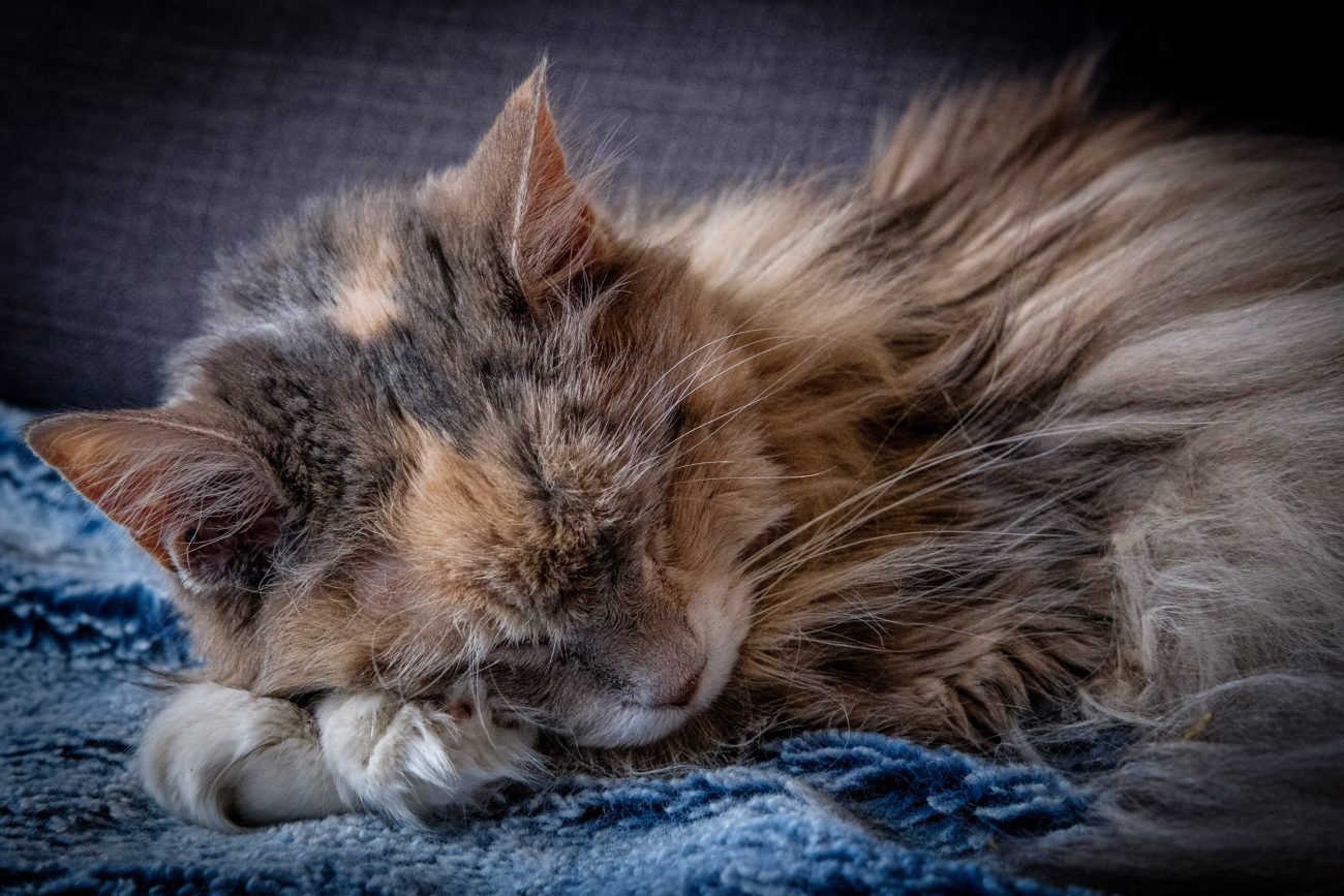 Sleeping Maine Coon Cat - Blue Kitty